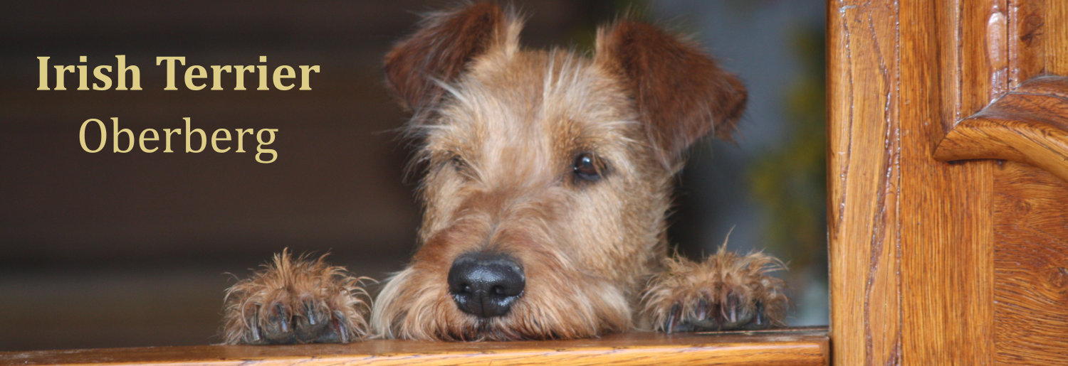 Irish Terrier Oberberg